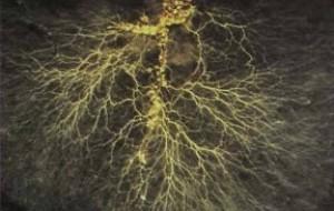 Micorrize pseudomonas sp Bacillus subtilis Trichoderma radici