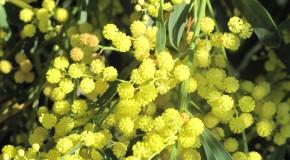 Mimosa des 4 saisons 2