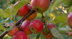 Potatura alberi da frutto O1