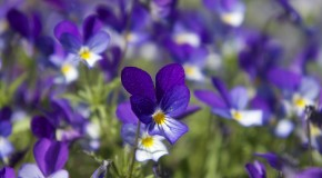 Violets flower wallpaper 1920x1080 2200